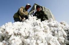2013年度棉花临时收储于9月9日启动
